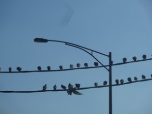 Birds on a Wire, photo copyright Elaine Luther 2013