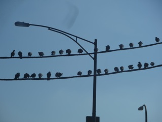"""Pidgeons on a Wire"" Cermak"