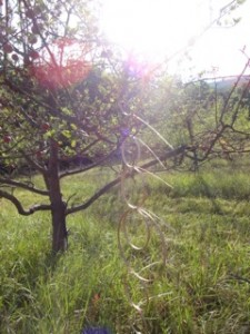 Line of Hoops in Apple Tree, Copyright Elaine Luther