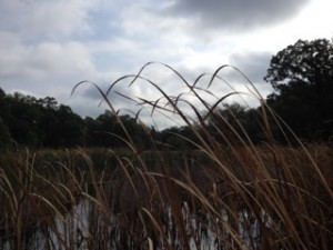 Cattails near Beaver Lodge, photo copyright Elaine Luther 2015