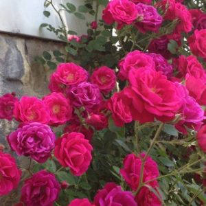 Roses, photo by Elaine Luther,  June 2016