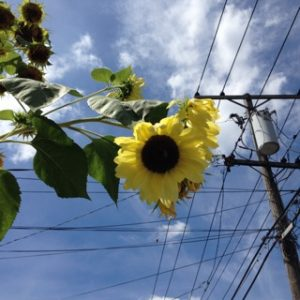 Sunflowers and Power lines, Copyright Elaine Luther 2016